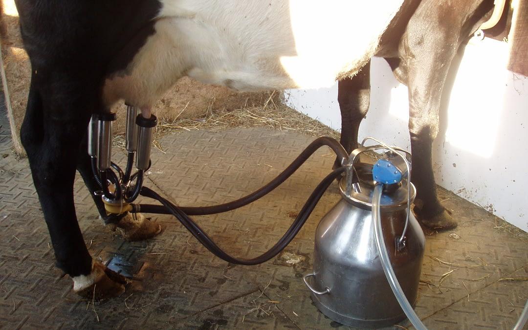 Training Heifers to Milk